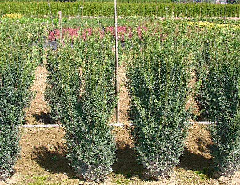 Taxus Baccata Hicksii